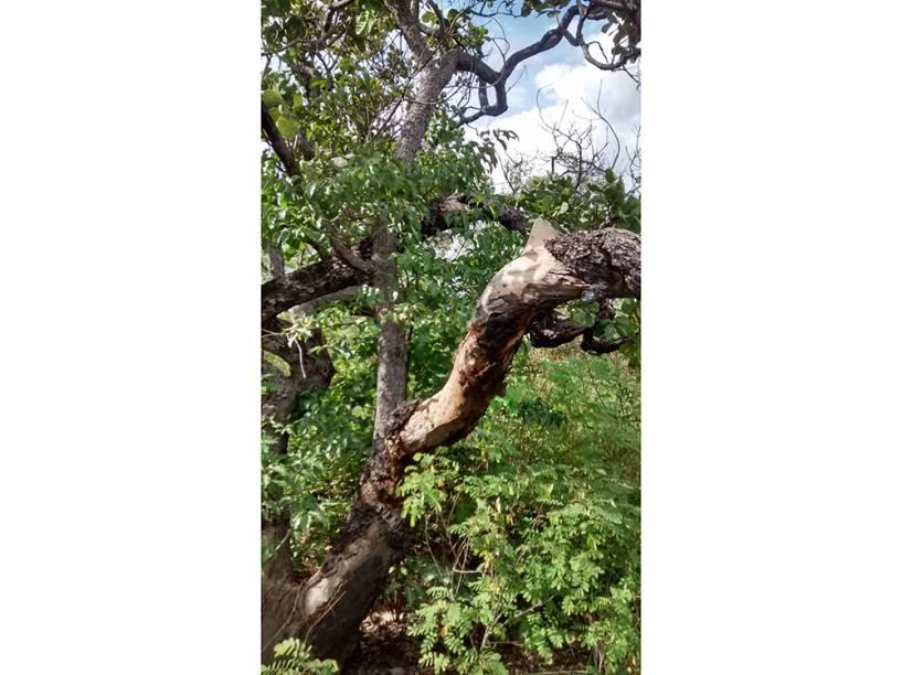 Árvore onde as vítimas de estupro coletivo ficaram amarradas em Castelo do Piauí