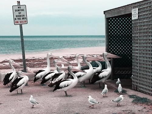 Pelican Feeding, fotografia de Melissa Little, da Austrália