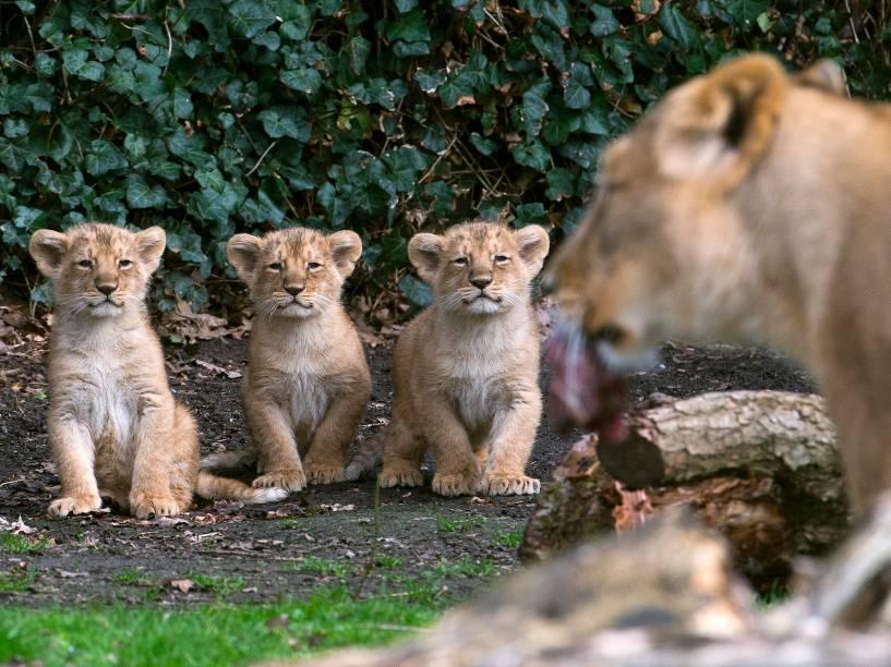 Filhotes de leão nascidos em janeiro, são apresentados ao público no Parque Planckendael em Mechelen, na Bélgica - 30/03/2016