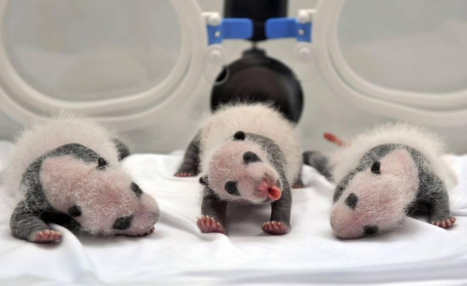 Filhotes de panda gigante, nascidos de inseminação artificial, são fotografados em incubadora em Guangzhou, na China