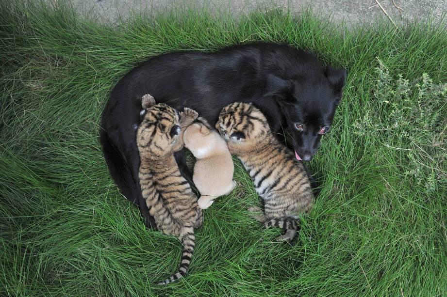 Cadela amamenta dois filhotes de tigre e seu próprio filhote em um zoológico de Hefei, na província chinesa de Anhui