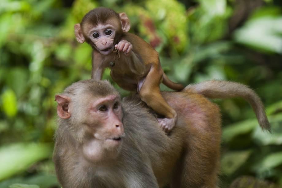 Filhote de macaco é fotografado nas costas de sua mãe no Parque Nacional de Hlawga, em Mingaladon, Mianmar
