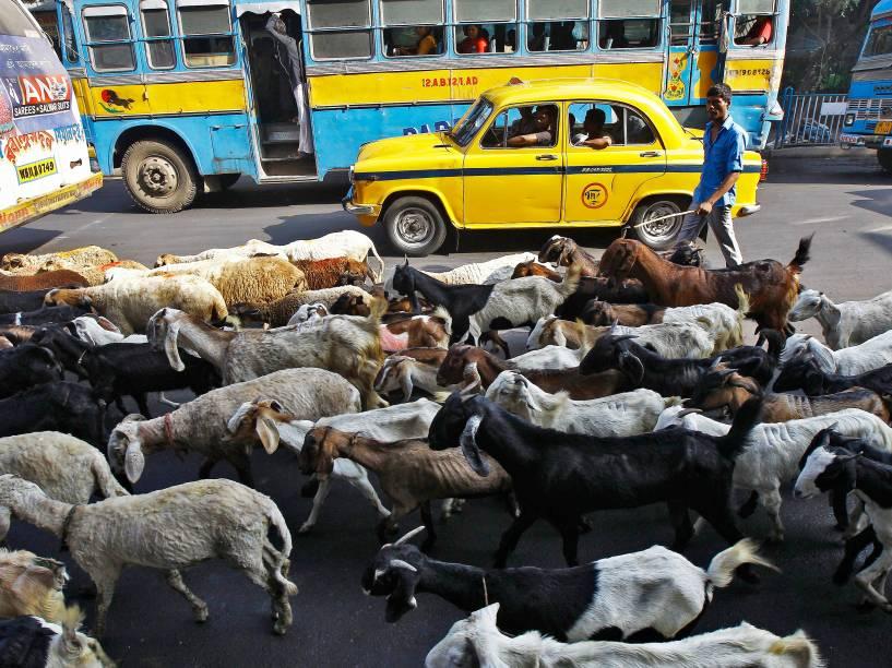 Comerciante segue o seu rebanho de gado em direção a um mercado de gado através de uma estrada movimentada em Calcutá, na Índia - 06/11/2014