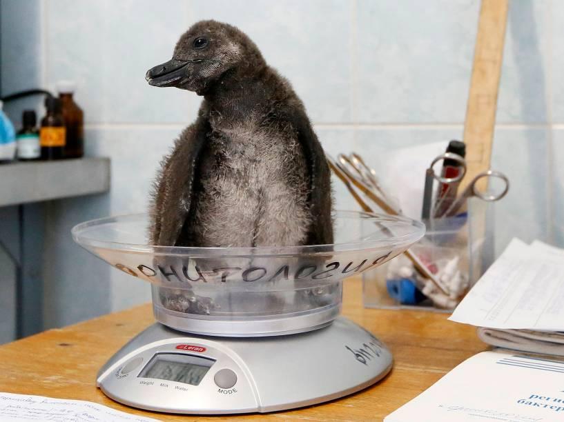 Pinguim africano de 3 semanas, é pesado antes de ser alimentado no zoológico Royev Ruchey nos subúrbios de Krasnoyarsk, na Sibéria - 14/11/2014