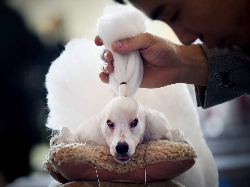 Homem ajeitou o penteado de sua mini poodle durante competição no International Pet Show em Pequim, na China