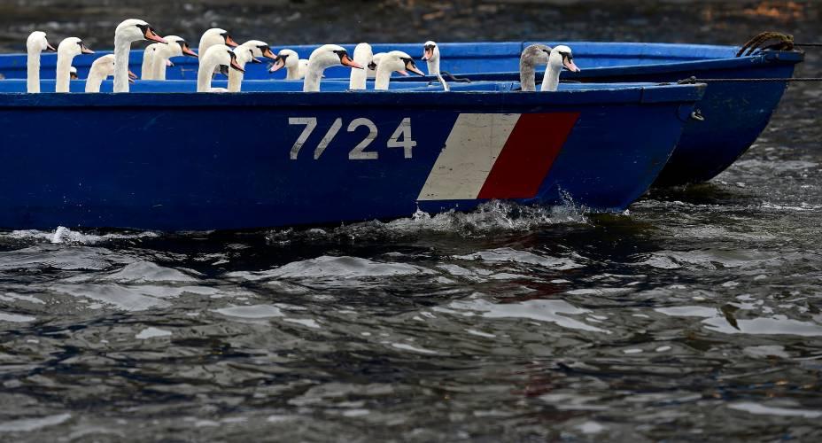 Cisnes foram retirados de barco de um lago da cidade de Hamburgo, na Alemanha. Todos os anos, as aves são coletadas a e levadas para quartéis de inverno onde são alimentadas e cuidadas até a primavera