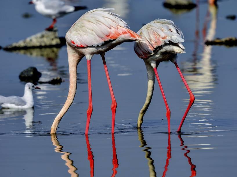 Flamingos fotografados enquanto buscavam alimento nas águas do Golfo Pérsico, em Kuwait City, no Kuwait
