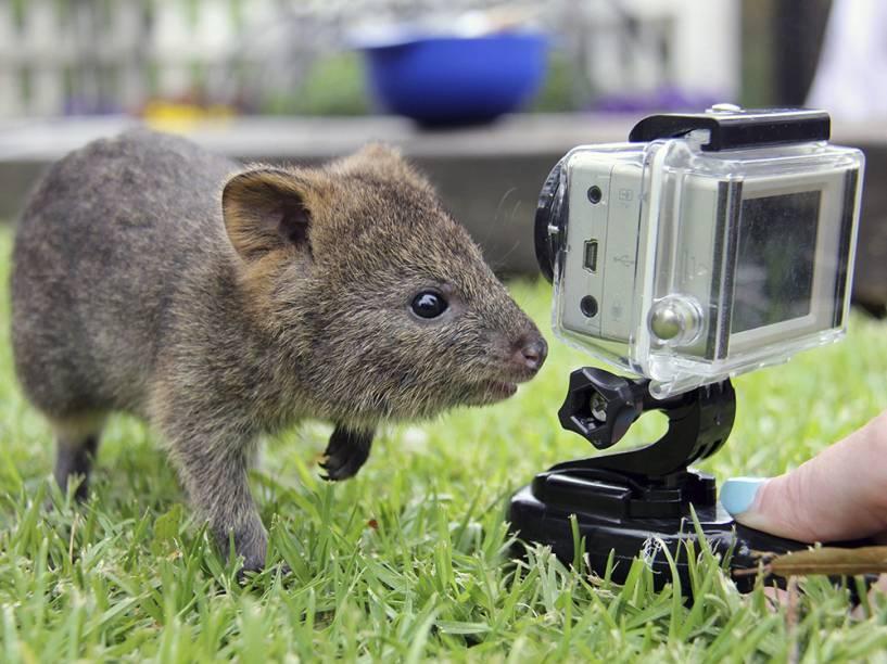 Filhote de marsupial, de seis meses de idade, brinca com uma câmera, no zoológico de Taronga, em Sydney, na Austrália