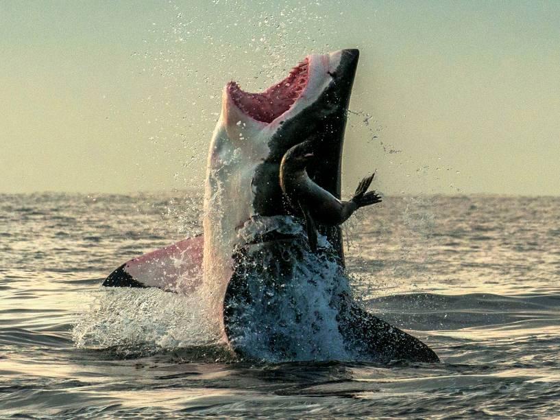 Fotógrafo registrou momento incrível de foca escapando de tubarão, na África do Sul