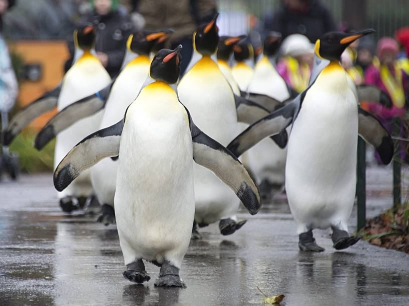 Pinguins andam pelo zoológico de Basilea, na Suíça. Por necessitarem de baixas temperaturas, os animais só podem caminhar na parte externa durante o inverno