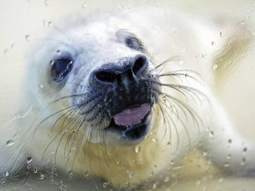 Uma foca cinzenta bebê lambe uma caixa de vidro em Friedrichskoog, na Alemanha. O animal será mantido em cativeiro até atingir o peso mínimo de 45 kg para ser lançado em ambiente natural