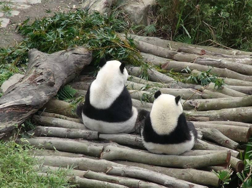 EmTaiwan, filhote de panda gigante e sua mãe são vistos juntos no zoológico de Taipei