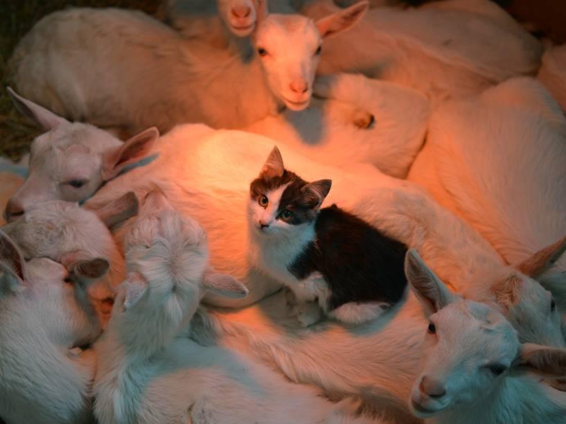 Gato dorme ao lado de cabras para ficar aquecido em fazenda de Stavropol, na Rússia