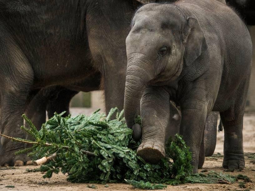 Elefante bebê brinca com uma árvore de natal durante o lanche da manhã, no zoológico de Berlim, Alemanha
