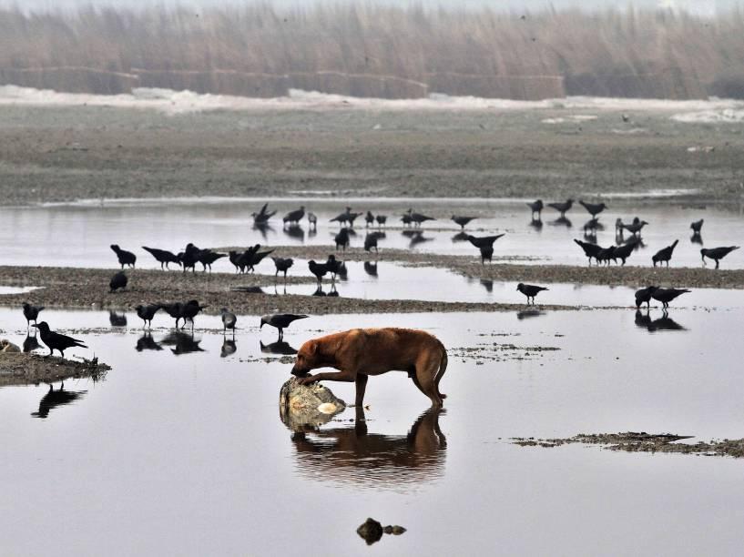 Um cão e um bando de aves vagueam perto de cadáveres, nas margens do rio Ganges, no estado indiano de Uttar Pradesh - 14/01/2015