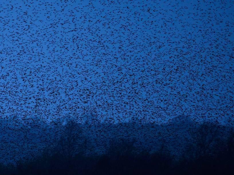 Milhares de estorninhos voam sobre pântanos antes de retornar para seus ninhos durante o crepúsculo perto Glastonbury, em Somerset, no sudoeste da Inglaterra - 14/01/2015