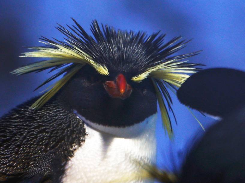 Um pinguim rockhopper em seu recinto no zoológico de Munique, na Alemanha