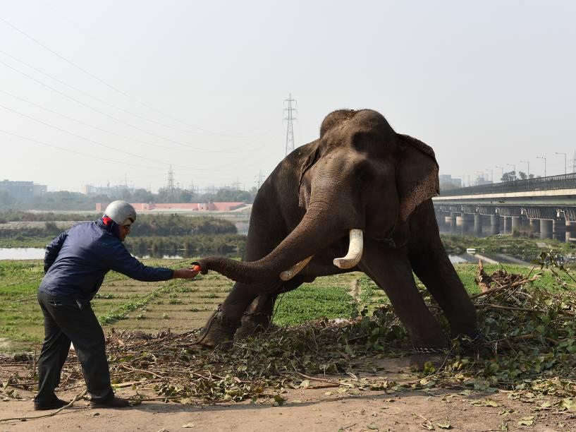 Indiano alimenta um elefante, que é usado em casamentos para carregar os noivos, nas margens do rio Yamuna, em Nova Délhi