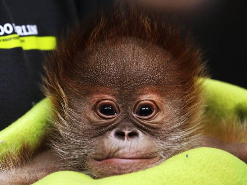 Nascido no dia 12 de janeiro passado, filhote de orangotango chamado de Rieke durante sua apresentação à imprensa, no zoológico de Berlim, na Alemanha.