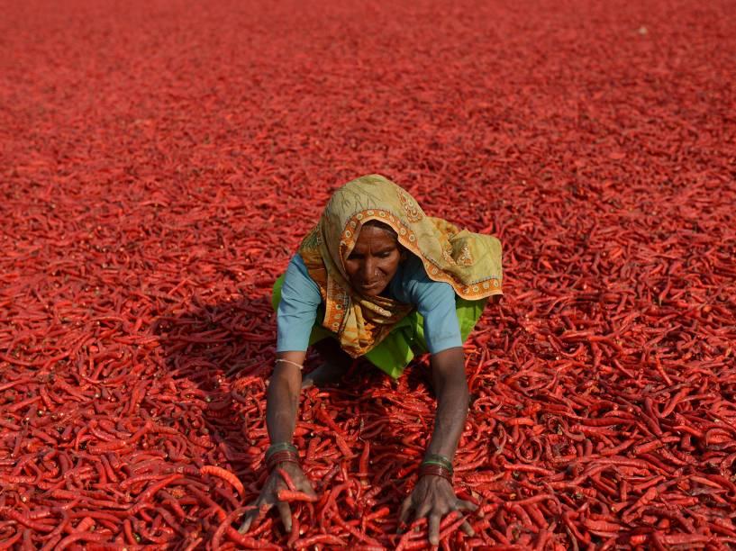 Mulher trabalha numa fazenda em Ahmedabad, na Índia, secando pimentas recém apanhadas