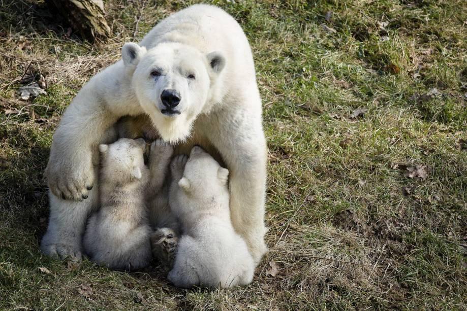 """A ursa polar """"Freedom"""" aparece pela primeira vez em público com seus filhotes no zoológico de Rhenen, na Holanda - 19/02/2015"""