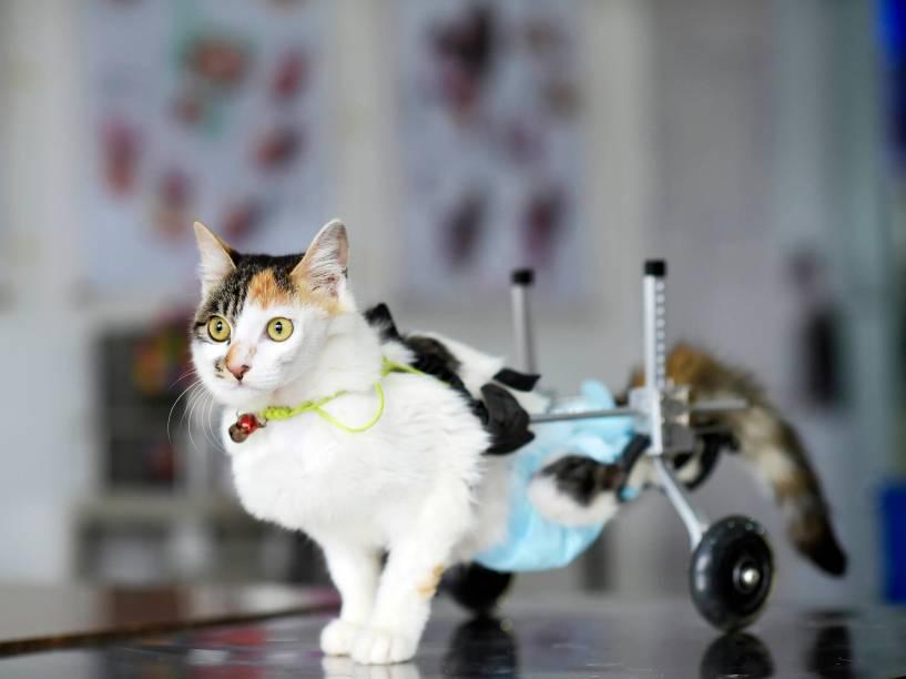 Após cair do 10º andar e ser achada por bons samaritanos; a gata Hei Hudie, de 8 meses de idade, caminha com ajuda de rodinhas adaptadas em hospital veterinário de Chongquing, na China. Hudie passou por 4 cirurgias em 5 meses e perdeu os movimentos das patas traseiras - 17/03/2015