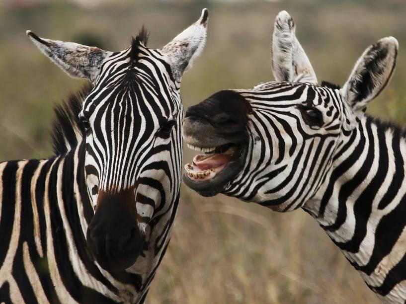Zebras pastam no Parque Nacional de Nairobi fora da capital do Quênia