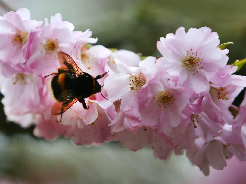 Abelha pousa em flor de cerejeira em Bonn, na Alemanha