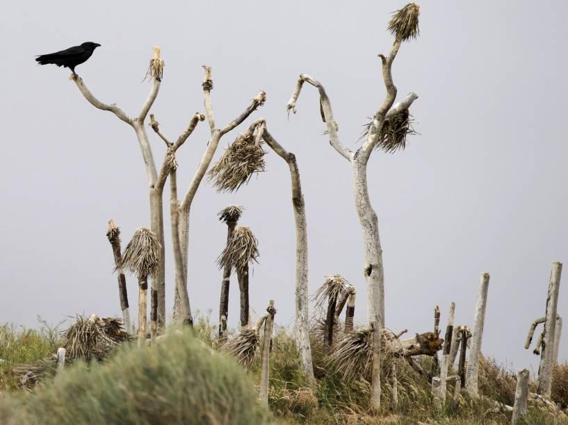 Corvo repousa em árvore morta em Palmdale, Califórnia. O governador Jerry Brown vem tomando medidas para tentar combater a seca que atinge a região - 08/04/2015