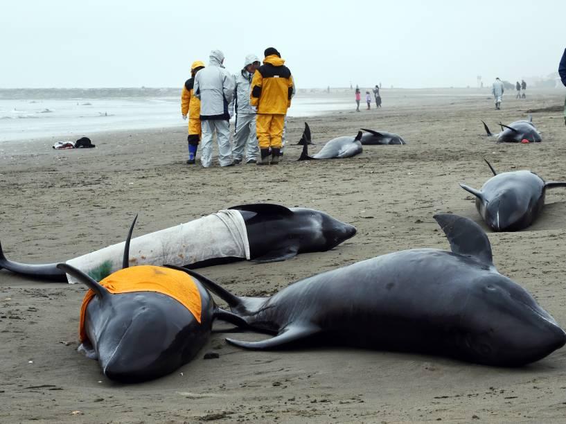 Cerca de 150 golfinhos da espécie cabeça-de-melão foram encontrados encalhados na costa da cidade de Hokota, nordeste de Tóquio