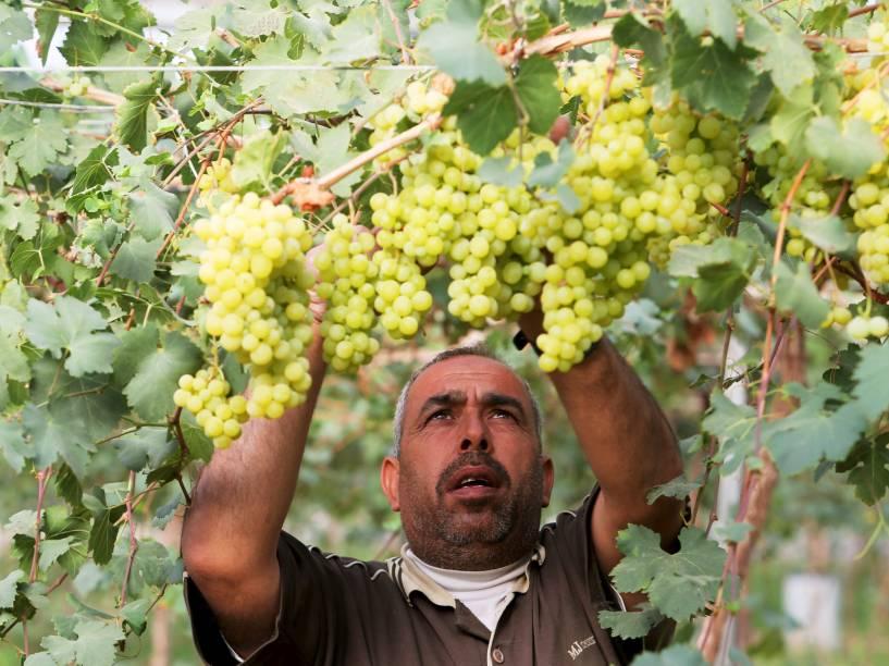 Fazendeiro palestino trabalha em lavoura de uvas em Rafah, ao sul da Faixa de Gaza - 01/06/2015