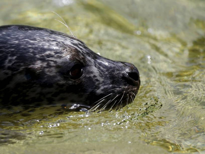 Uma foca nada em aquário no zoológico de Antuérpia, na Bélgica - 01/062015
