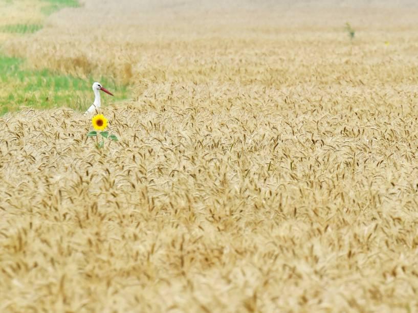 Cegonha foi fotografada ao lado de um girassol em um campo de trigo perto do vilarejo de Mala Dyvitsya, na Ucrânia