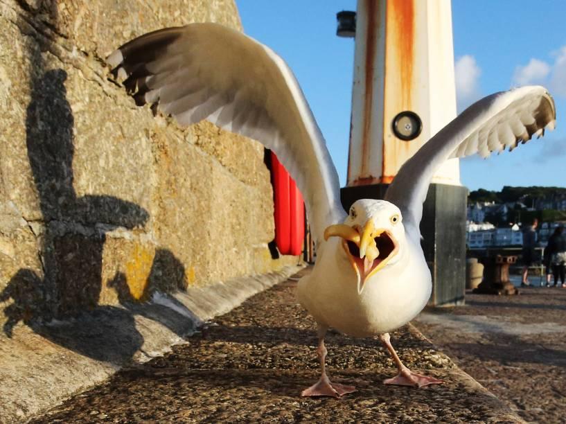 Gaivota ataca um pedaço de comida deixado no chão na zona portuária de St Ives, na Cornualha, Inglaterra