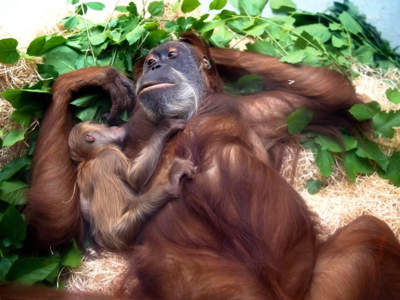 O bebê orangotango Dalai, descansou nos braços de sua mãe, Daisy, no zoológico de Dresden, na Alemanha