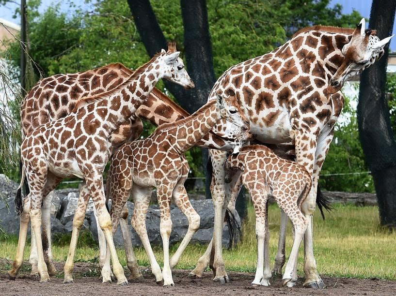 Kidepo, o mais novo filhote do zoológico Chester, na Inglaterra, foi visto passeando pela primeira vez ao lado da mãe, Orla, e os irmãos Sanyu e Zahra