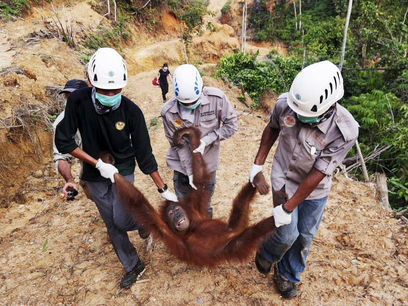 Agentes ambientalistas resgatam uma fêmea de orangotango encontrada em uma plantação de óleo de palma no distrito de Batang Serangan, na província de Sumatra do Norte, na Indonésia