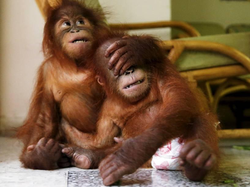 Bebês orangotangos brincando no departamento de vida selvagem de Kuala Lumpur, Malásia. Em julho o órgão apreendeu os dois animais dentro de mochilas e prendeu os traficantes que tentavam vendê-los no país. Segundo a mídia local, os macacos voltarão a Medan, na Indonésia