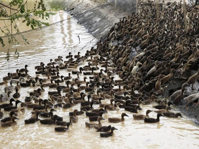 Após a passagem do tufão Koppu, patos foram removidos de área alagada em Jaen, nas Filipinas