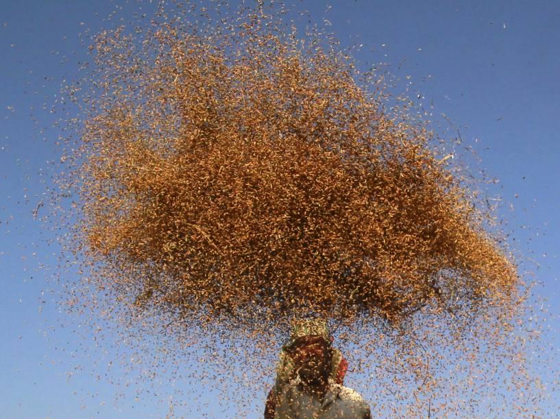 Fazendeiro é fotografado enquanto cultiva arroz nos arredores de Agartala, na Índia - 12/11/2015