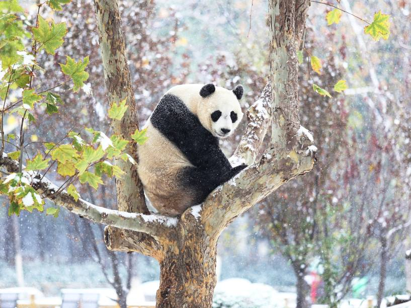 Panda senta-se em uma árvore enquanto cai a primeira nevasca este ano em Jinan, na China - 24/11/2015