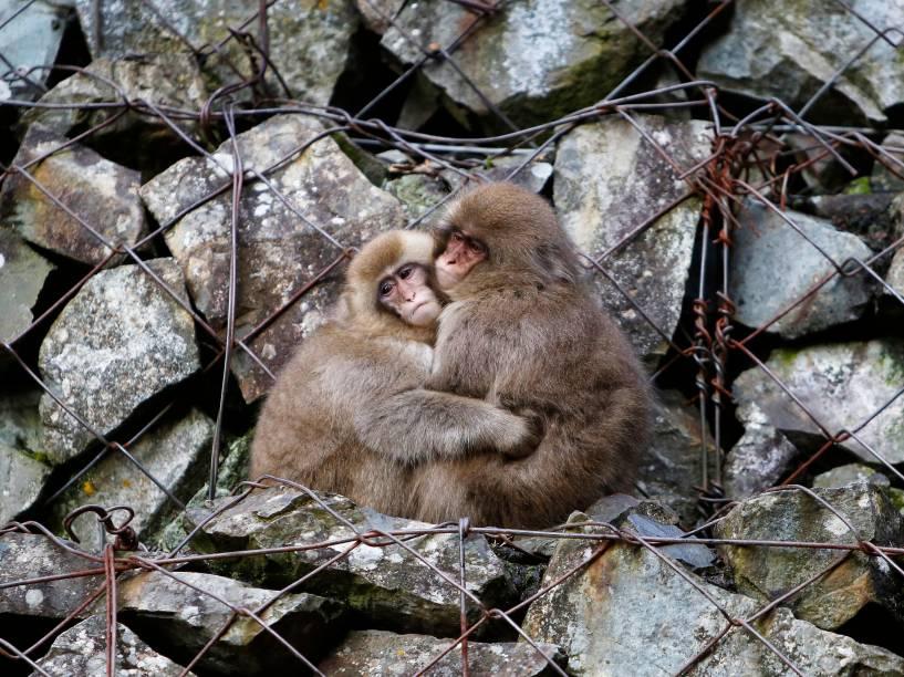 Macacos japoneses (conhecidos também como macacos-da-neve) se abraçam enquanto se sentam sobre rochas de um vale da cidade de Yamanouchi, em Nagano, Japão - 30/11/2015