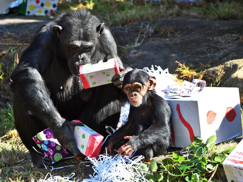 Mãe e filhote brincaram com seus presentes de Natal no zoológico de Taronga, em Sydney, na Austrália. De acordo com autoridades do local, os brinquedos são projetados para estimular as habilidades naturais dos primatas
