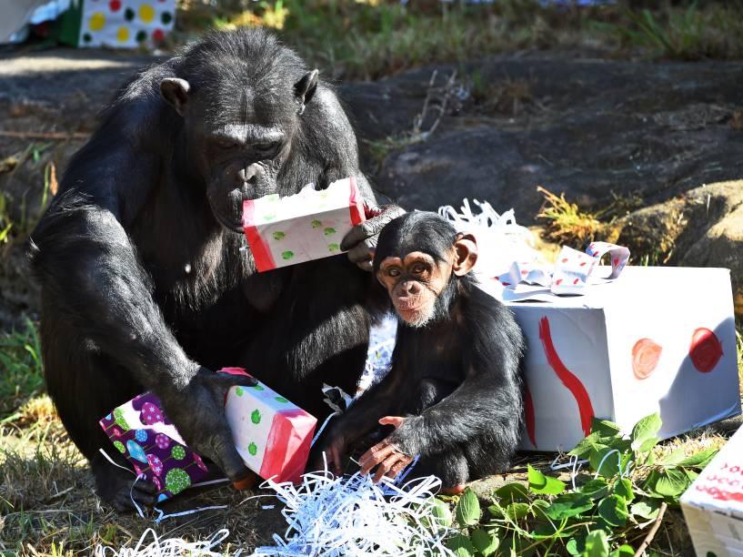 Mãe e filhote brincam com seus presentes de Natal no zoológico de Taronga, em Sydney, Austrália. De acordo com autoridades do local, os brinquedos são projetados para estimular as habilidades naturais dos primatas - 04/12/2015