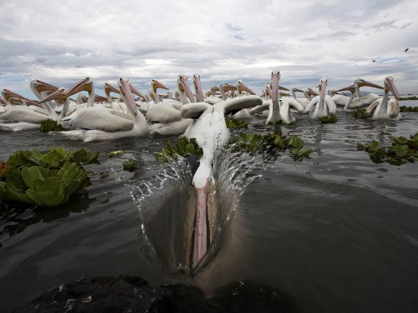 Pelicanos brancos americanos (Pelecanus erythrorhynchos) se alimentam nas águas do Lago Chapala em Cojumatlan de Regules, Estado de Michoacán, no México