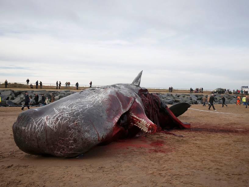 Um cachalote aparece morto na areia na praia de Skegness, nordeste da Inglaterra. Outros três animais da mesma espécie foram encontrados no local no final de semana - 25/01/2016