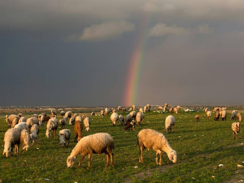 Ovelhas em pasto de Rahat, em Israel