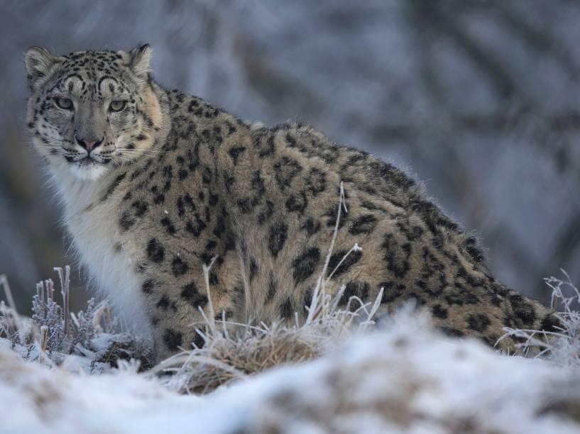 Leopardo é visto em parque de Kincraig, na  Escócia