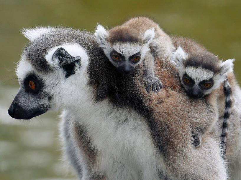 Lêmure-Catta, também conhecido como Lêmure Cauda-de-Anel é visto com filhotes de onze dias de vida no zoológico de Schoenbrunn, em Viena, na Áustria - 01/04/2016