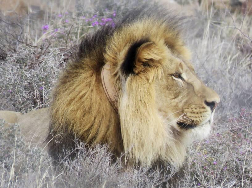 Sylvester, o leão, é fotografado no Parque Nacional da África do Sul (SANParks), depois de ter escapado duas vezes desta reserva, ameaçado por leões mais velhos. Ele será transferido para outra reserva, onde conviverá com duas fêmeas para se sentir menos intimado